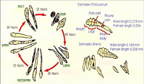 Vòng đời của ký sinh trùng demodex trên da