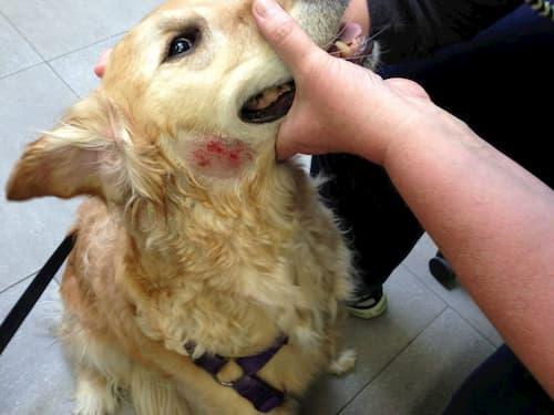 Ghẻ demodex không những bị ở người mà còn bị ở chó