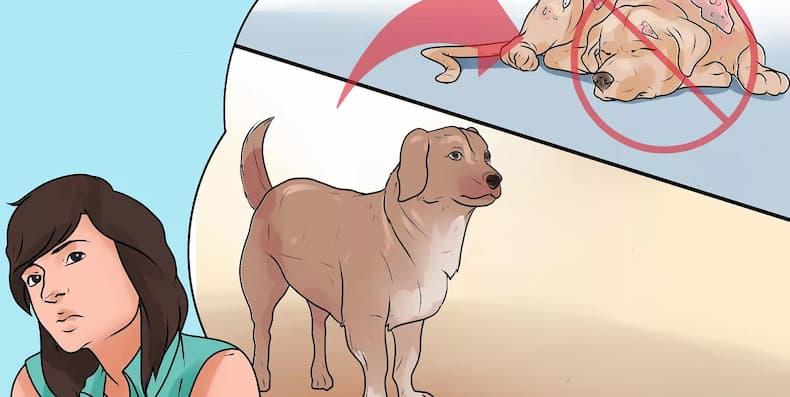 Bệnh ghẻ Demodex ở chó có lây sang người không?
