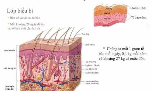 Các tế bào chết và độc tố cần được loại bỏ để thúc đẩy sản sinh tế bào mới trên da