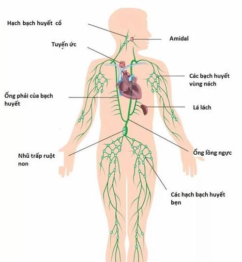 Hệ bạch huyết có ở khắp nơi trên cơ thể người