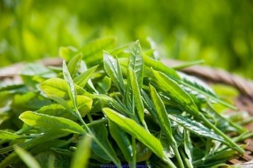 Mỗi ngày 1 ly trà xanh giúp thải độc tố nhanh hơn