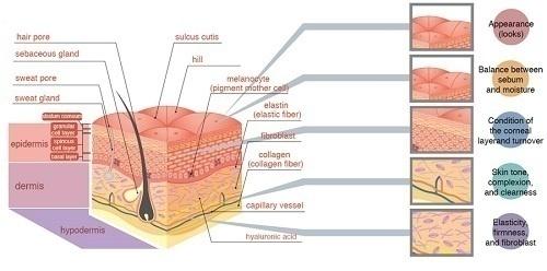 Cấu trúc da